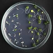 transgenic plant